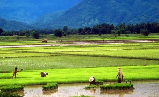 rice-farm